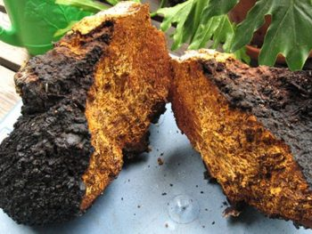 how-to-prepare-chaga-tea