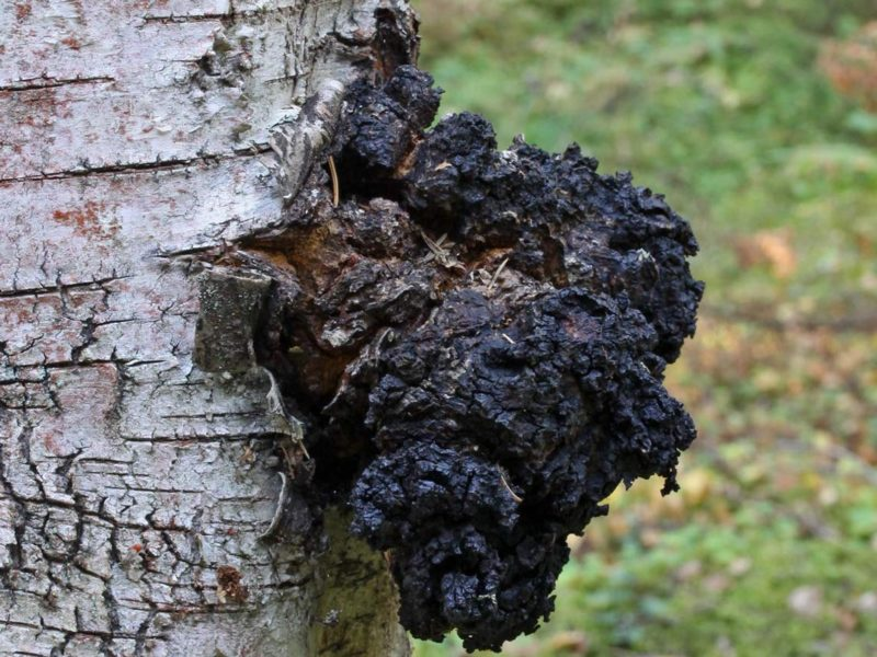 harvesting chaga on a birch tree